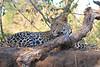Leopard_Mashatu_Botswana0074