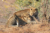 Leopard_Mashatu_Botswana0028