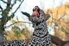Leopard_Mashatu_Botswana0082