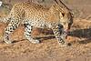 Leopard_Mashatu_Botswana0021
