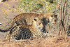 Leopard_Mashatu_Botswana0026