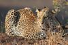 Leopard_Mashatu_Botswana0001