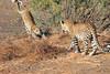 Leopard_Mashatu_Botswana0014