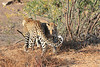 Leopard_Mashatu_Botswana0015