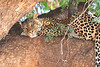 Leopard_Mashatu_Botswana0093