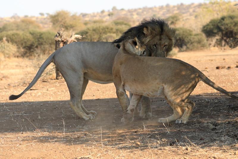 Lion_Mashatu_Botswanna__0018