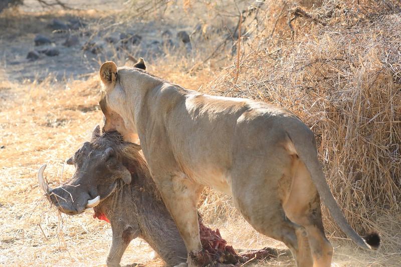 Lion_Warthog_Kill_Mashatu_Botswanna__0047