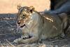 Lion_Mashatu_Botswanna__0022