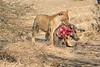 Lion_Warthog_Kill_Mashatu_Botswanna__0016