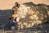 Lion_Mashatu_Botswanna__0005