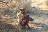 Lion_Warthog_Kill_Mashatu_Botswanna__0036