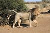 Lion_Mashatu_Botswanna__0015