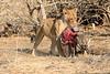 Lion_Warthog_Kill_Mashatu_Botswanna__0019