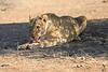 Lion_Mashatu_Botswanna__0002