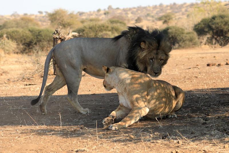 Lion_Mashatu_Botswanna__0017