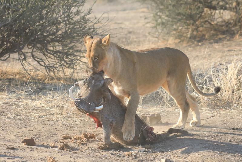 Lion_Warthog_Kill_Mashatu_Botswanna__0008