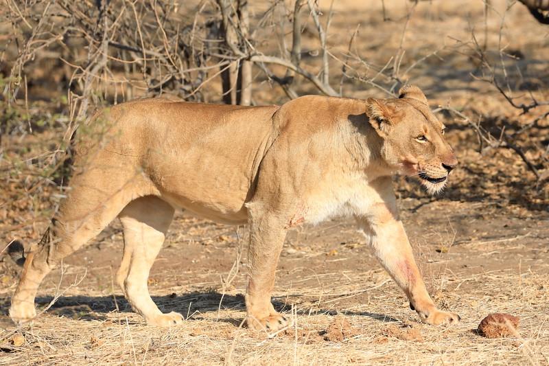 Lion_Mashatu_Botswanna__0001