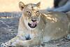 Lion_Mashatu_Botswanna__0032