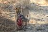 Lion_Warthog_Kill_Mashatu_Botswanna__0039