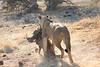 Lion_Warthog_Kill_Mashatu_Botswanna__0001
