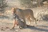 Lion_Warthog_Kill_Mashatu_Botswanna__0006
