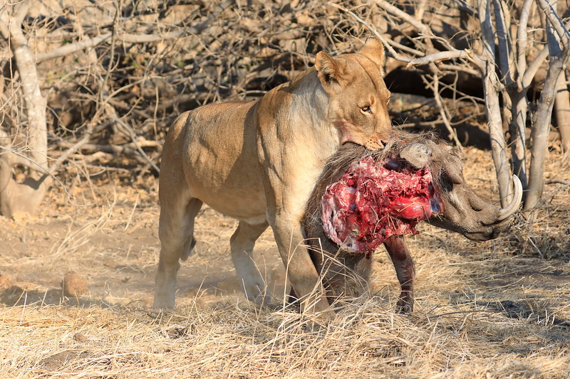 Lion_Warthog_Kill_Mashatu_Botswanna__0024
