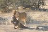 Lion_Warthog_Kill_Mashatu_Botswanna__0004