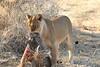 Lion_Warthog_Kill_Mashatu_Botswanna__0034