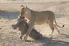 Lion_Warthog_Kill_Mashatu_Botswanna__0013