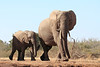 Elephants_Hide_Mashatu_Botswana0036