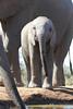 Elephants_Hide_Mashatu_Botswana0048
