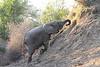 Elephant__Mashatu_Botswana0015