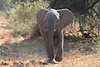 Elephant__Mashatu_Botswana0027