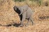 Elephant__Mashatu_Botswana0017
