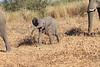 Elephant__Mashatu_Botswana0016