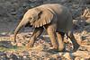 Elephant__Mashatu_Botswana0013