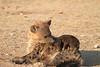 Hyena_Pups_Mashatu_Bots0128