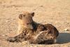 Hyena_Pups_Mashatu_Bots0123