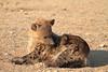 Hyena_Pups_Mashatu_Bots0124