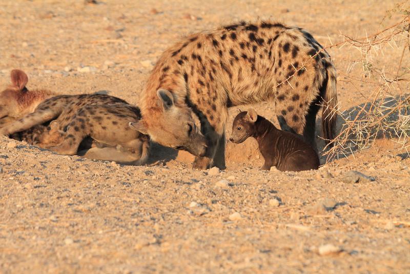 Hyena_Pups_Mashatu_Bots0105