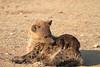 Hyena_Pups_Mashatu_Bots0127