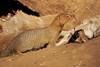 Slender_Mongoose_Mashatu_Botswanna__0107