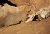 Slender_Mongoose_Mashatu_Botswanna__0109