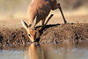 Steenbok_Mashatu_Botswanna__0042