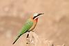 White-fronted_Beeater_Mashatu_Botswana0014