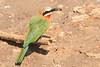 White-fronted_Beeater_Mashatu_Botswana0004