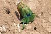White-fronted_Beeater_Mashatu_Botswana0012