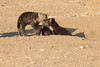 Young_Hyena_Pups_Mashatu_Botswana0042
