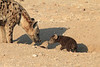 Young_Hyena_Pups_Mashatu_Botswana0051
