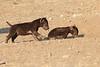 Young_Hyena_Pups_Mashatu_Botswana0050